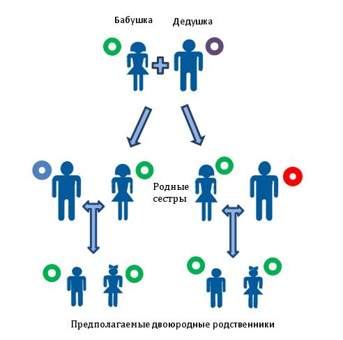 Установлению близкого родства по материнской линии между предполагаемыми двоюродными братьями, или сестрами, или двоюродными братом и сестрой. В виде разноцветных кругов показано различающиеся копии мтДНК