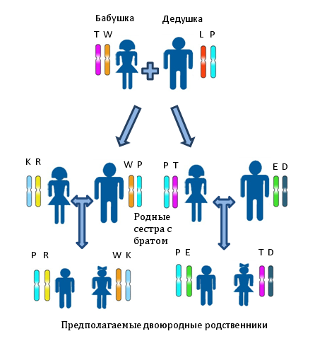 Установлению близкого родства по материнской линии между предполагаемыми двоюродными братьями, или сестрами, или двоюродными братом и сестрой. Различными цветами и буквами показаны различные аллели одного и того же локуса. Для определения родства используется система генетических маркеров на основе аутосомных локусов