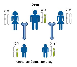 Принцип установления сводного родства по отцовской линии между предполагаемыми сводными братьями. Показана передача Y-хромосомы по мужской линии. Все мужчины на рисунке несут в своих клетках одинаковые копии Y-хромосомы. Для определения родства в данном случае исследуются генетические маркеры располагающиеся на Y-хромосоме.