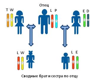 Принцип установления сводного родства по отцовской линии между предполагаемыми сводными братом и сестрой. Различными цветами и буквами показаны различные аллели одного и того же локуса. Для определения родства используется система генетических маркеров на основе аутосомных локусов.