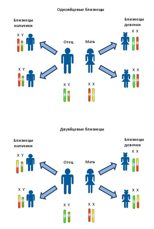Передача половых хромосом от родителей к однояйцевым и двуяйцевым детям. Различными цветами изображены различные локусы.