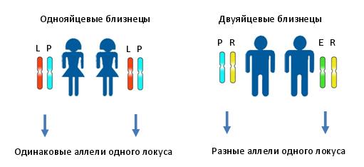 Принцип метода установления являются ли близнецы однояйцевыми, или двуяйцевыми. Различными цветами и буквами показаны различные аллели одного и того же локуса.